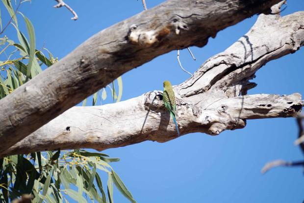樹洞で子育てするセキセイインコ