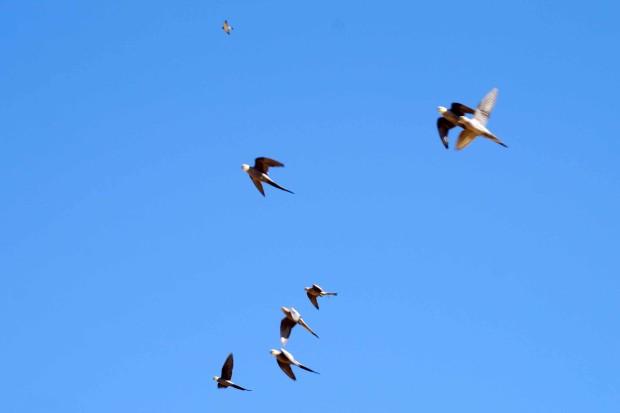 空を飛ぶオカメインコ